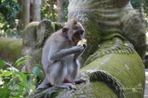 Bali mit Kindern Affe