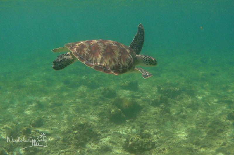 gili air schildkröte
