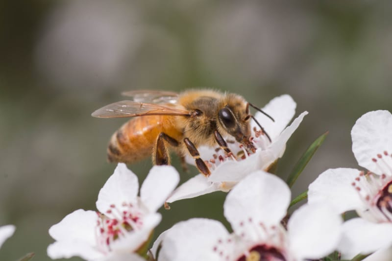 Manuka Honig Bienen Neuseeland